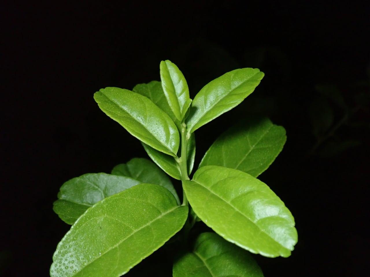 El limonero se planta en primavera
