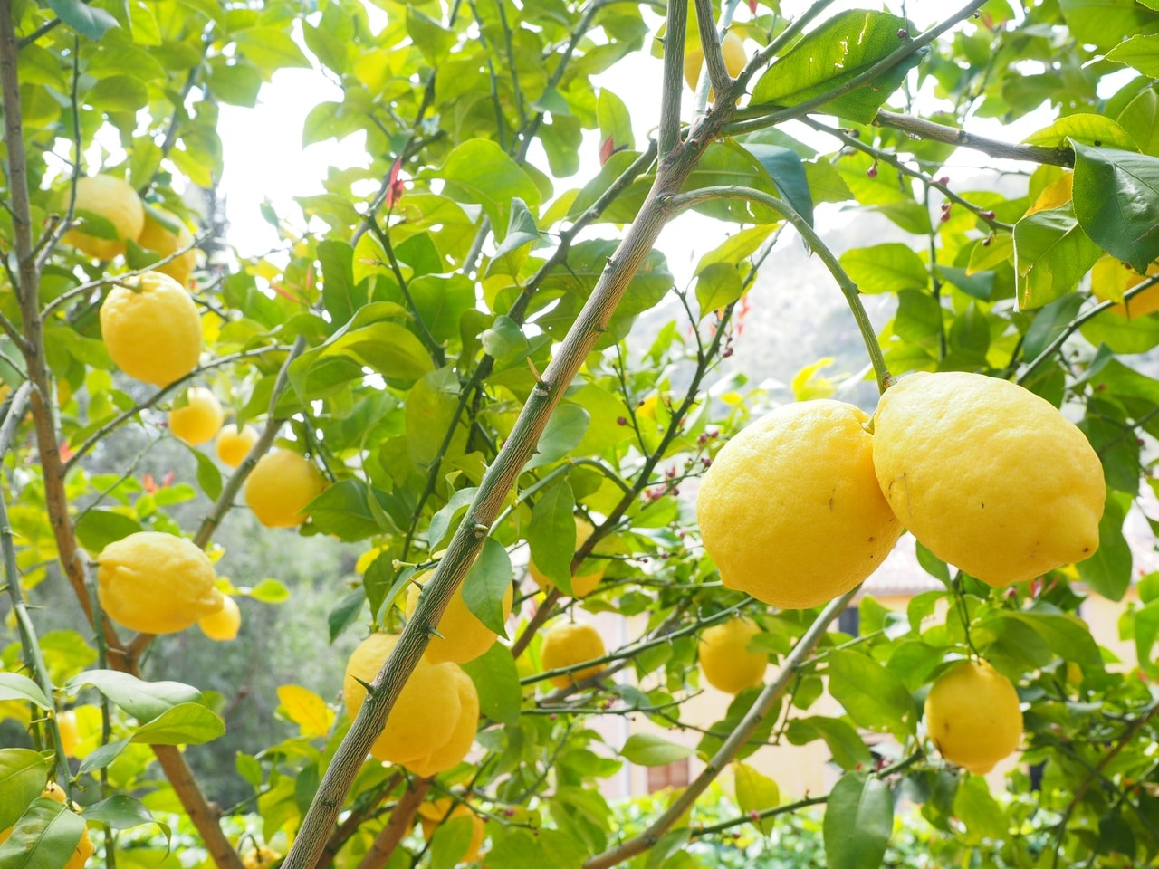 El limonero es un frutal perennifolio