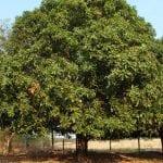 Árbol de mango en jardín