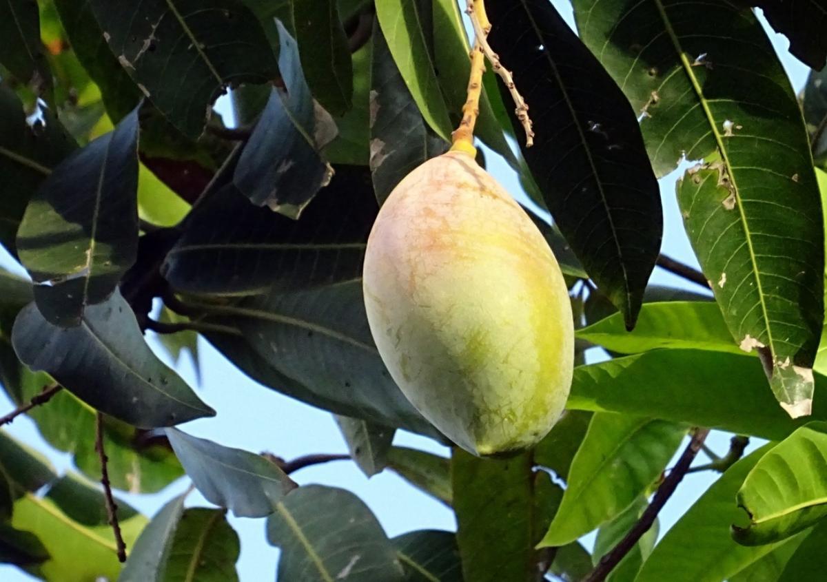El mango da frutos en verano