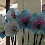 Orquídeas azules y blancas