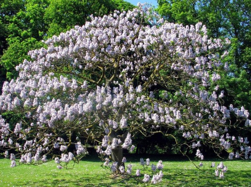 Pawlonia en flor