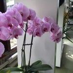 Phalaenopsis de flor rosada