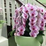Phalaneopsis con muchas flores de color rosado