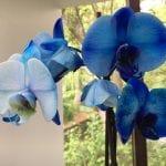 Phalaenopsis de flores azules