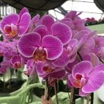 Phalaenopsis de flor lila