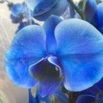 Phalaenopsis de flor azul
