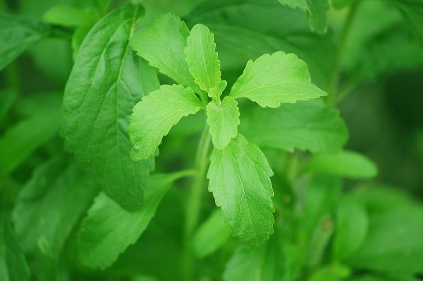 cultivar planta de la Stevia en casa