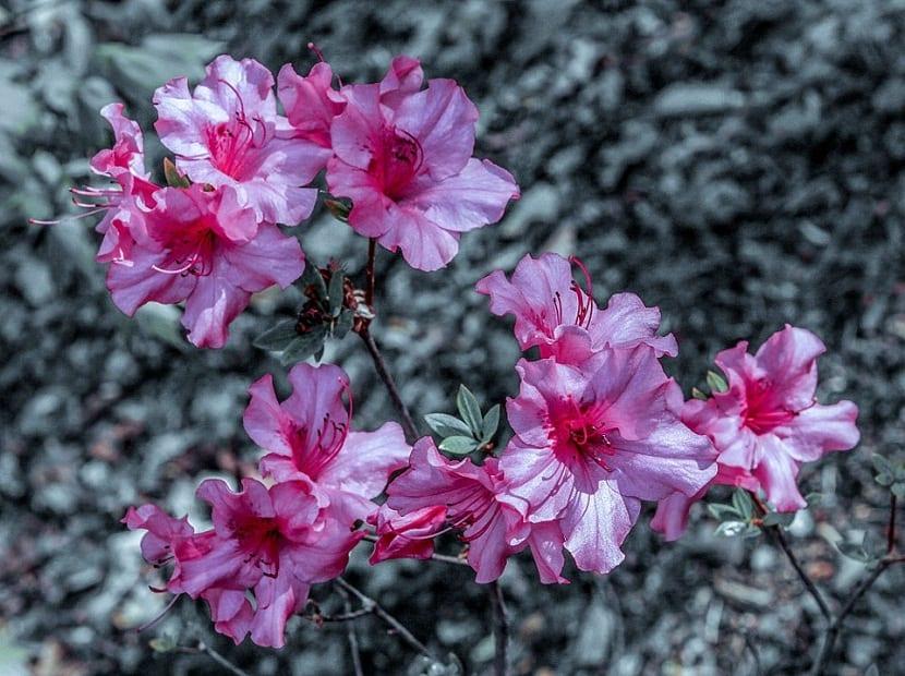 cuidado de la planta de la azalea