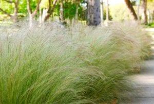 Planta de Stipa tenuissima