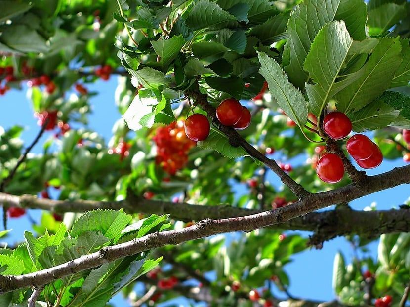 plantar cerezas en casa