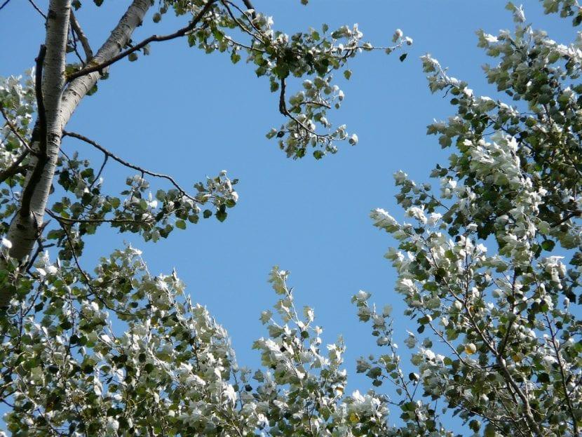 Populus alba, nombre científico de álamo blanco
