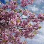 Prunus serrulata en flor