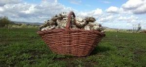recolección de champiñones