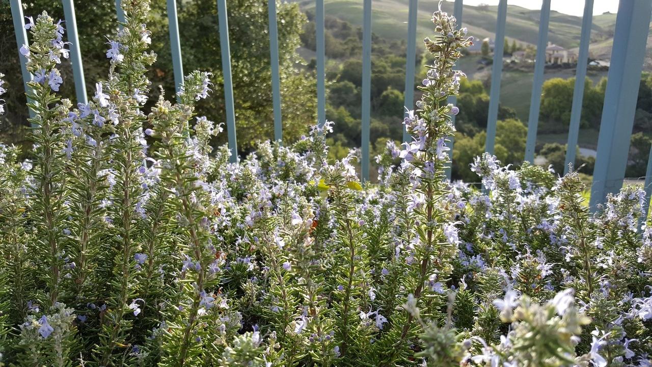 El romero es una planta repelente de conejos