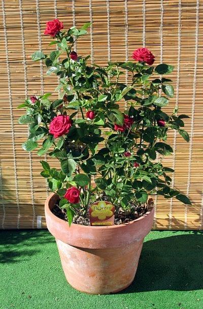 Rosa en maceta