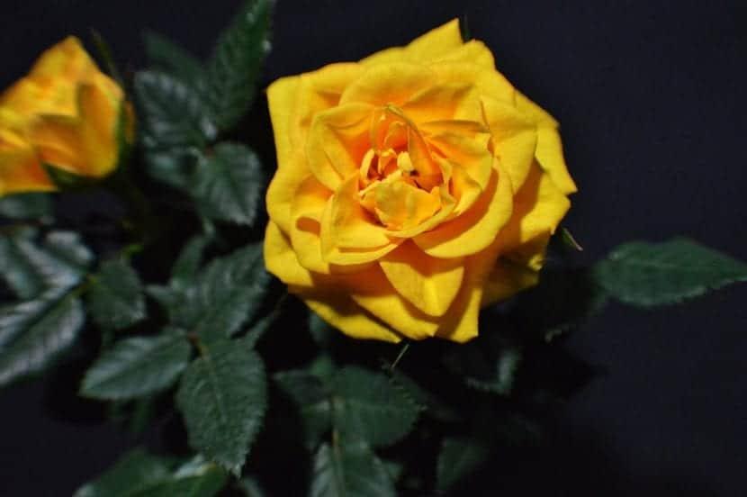 Rosal amarillo en maceta