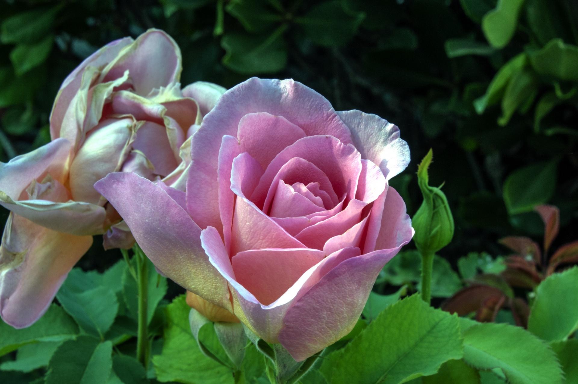 El rosal florece durante todo el año