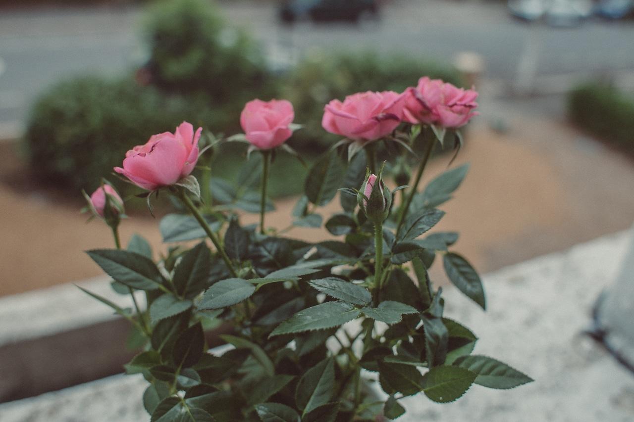 Los rosales son plantas ornamentales