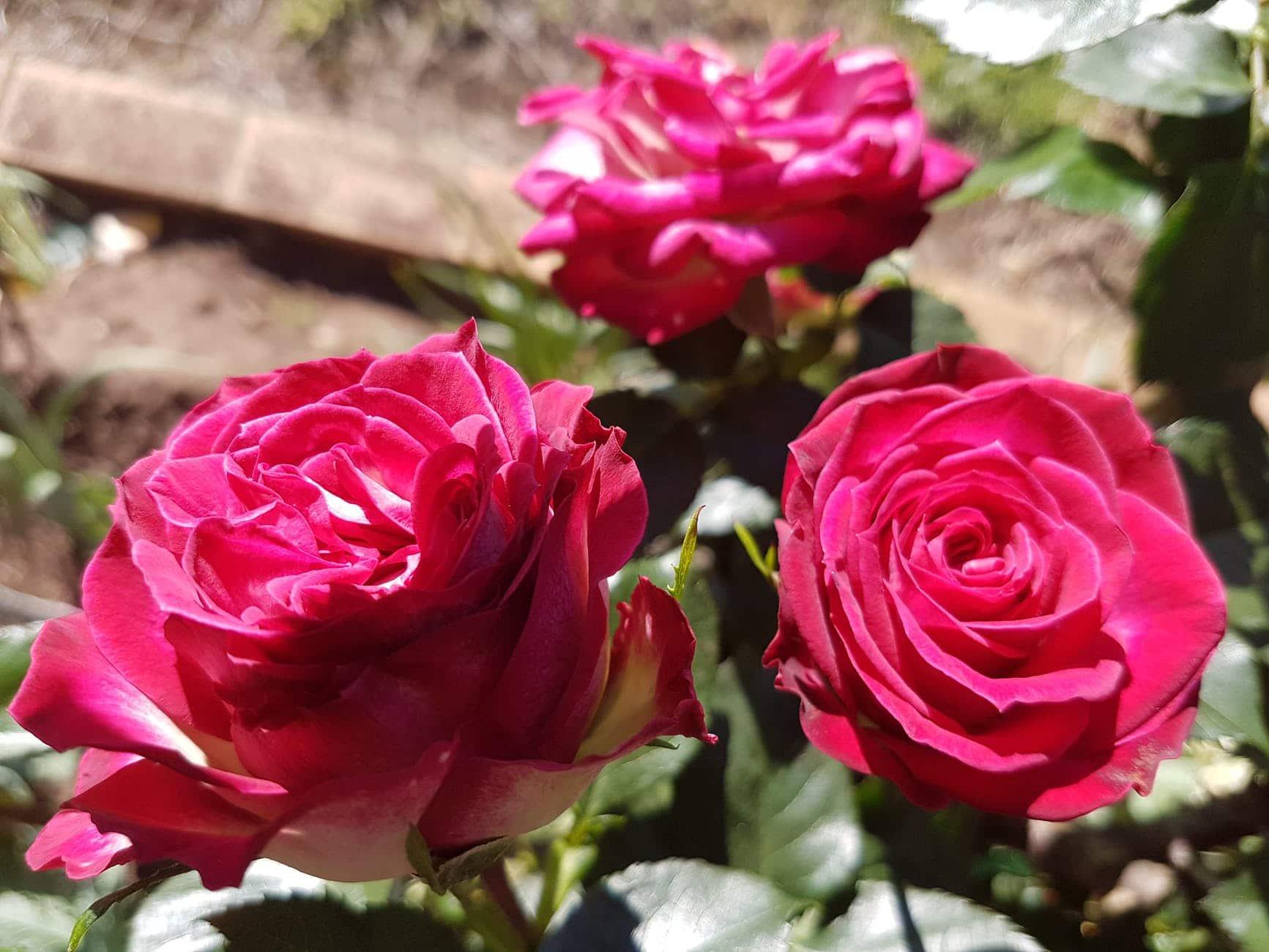 Los rosales se trasplantan cada dos años