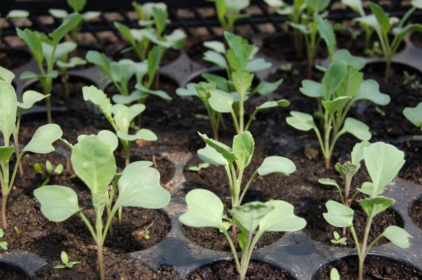 Bandeja de semillero con plantines