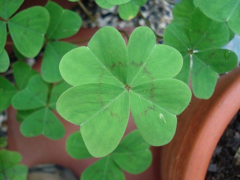 Trébol de cuatro hojas en maceta