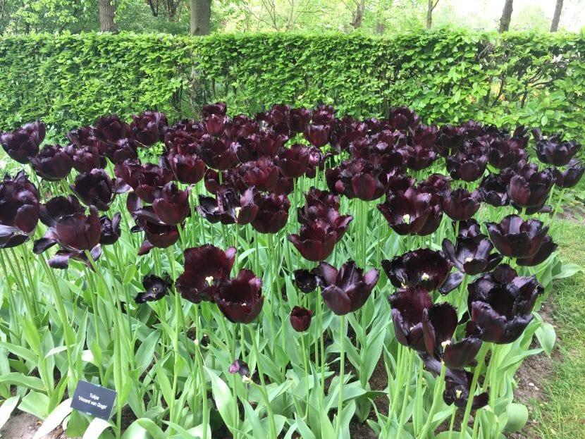 Tulipanes de flor negra en Keunkheof