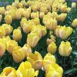 Plantas bulbosas de tulipán de color amarillo