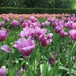 Tulipanes en floración en el jardín Keunkheof