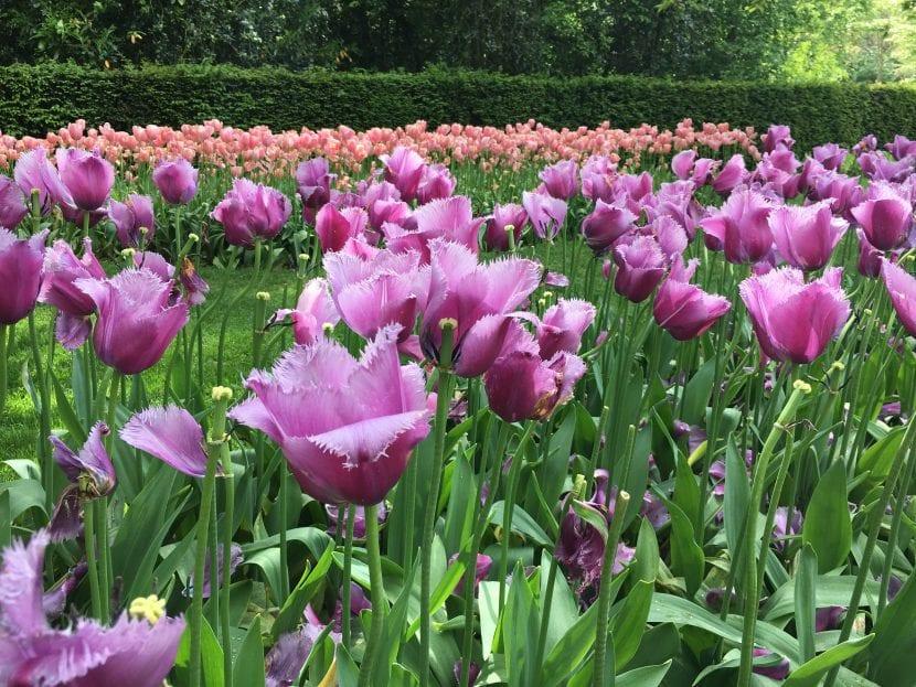 Los tulipanes son bulbosas fáciles de cuidar