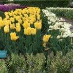 Tulipanes amarillos en el jardín Keunkheof