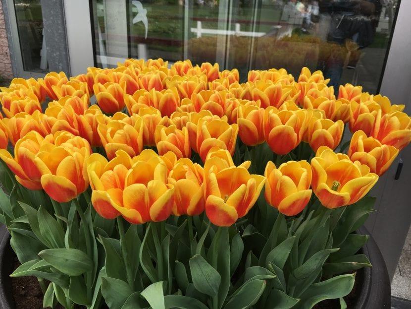 Tulipanes de flor naranja