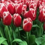 Tulipanes de flor roja