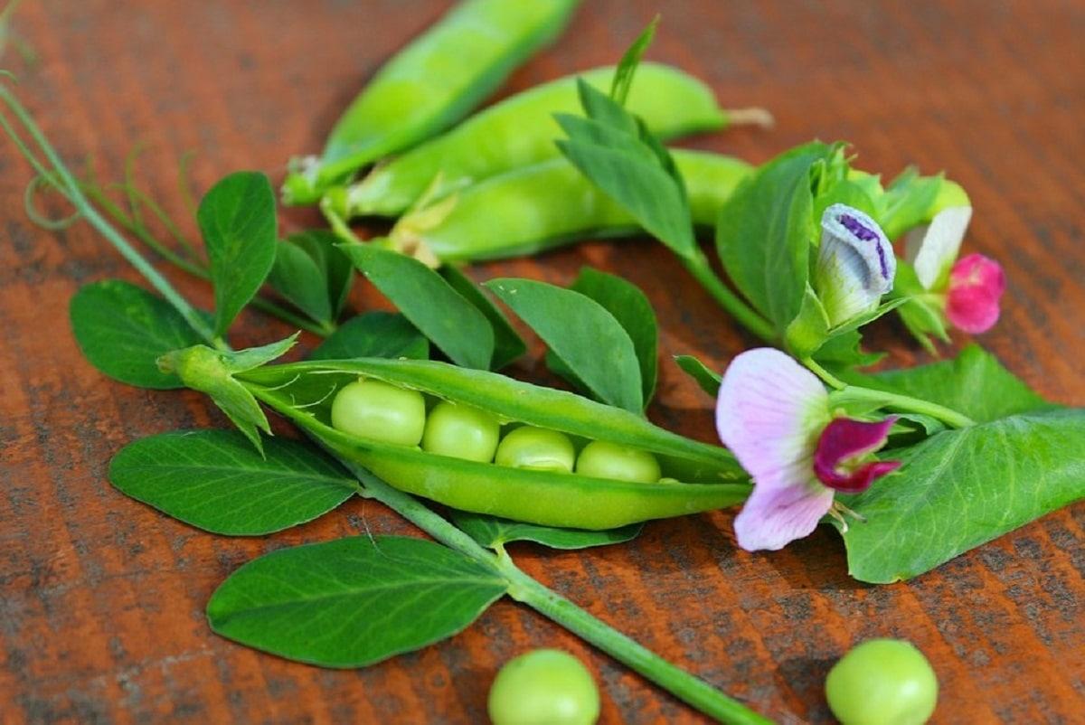 Los guisantes son plantas leguminosas
