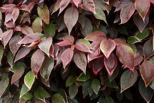 Planta de Acalypha wilkesiana 'Marginata'