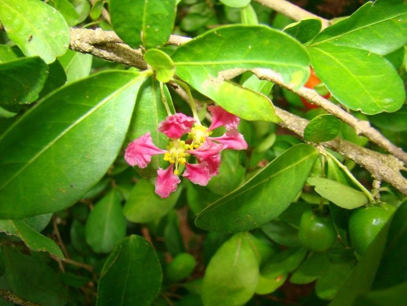 Planta de acerola en flor