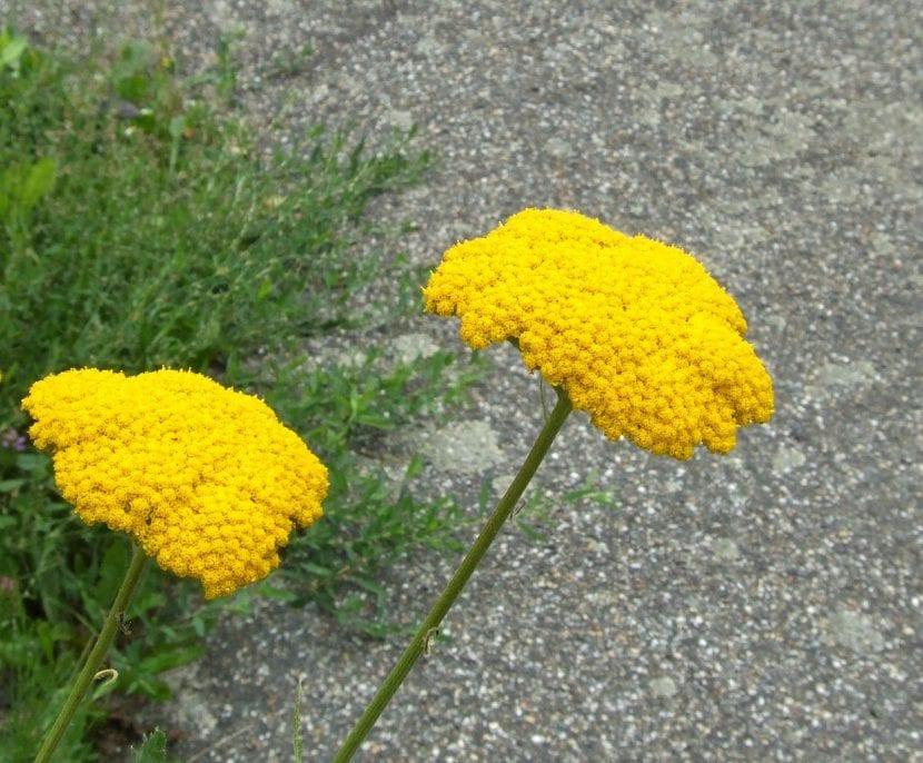 Flores de la planta Achillea ''Moonshine'