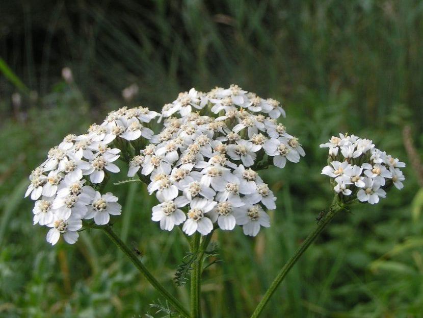 Flores de la Achillea millefolium
