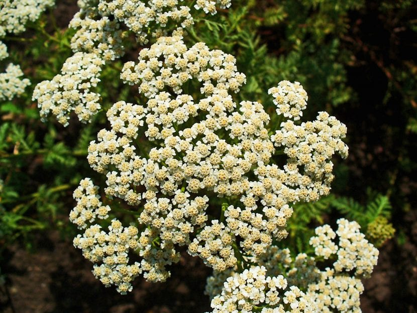 Flores de la planta Achillea nobilis