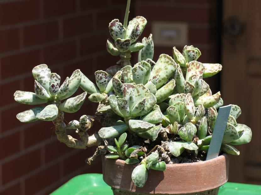 Planta de Adromischus cooperi