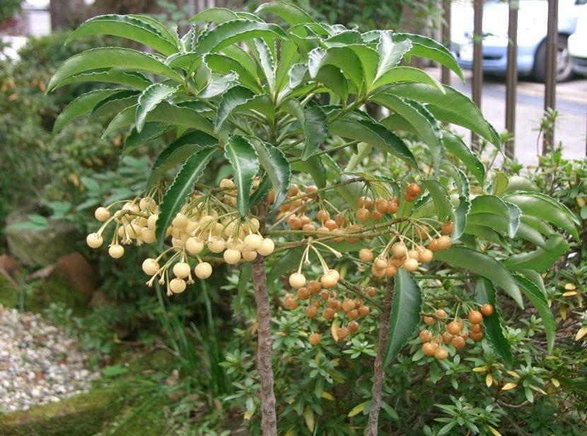 Planta de Ardisia crenata