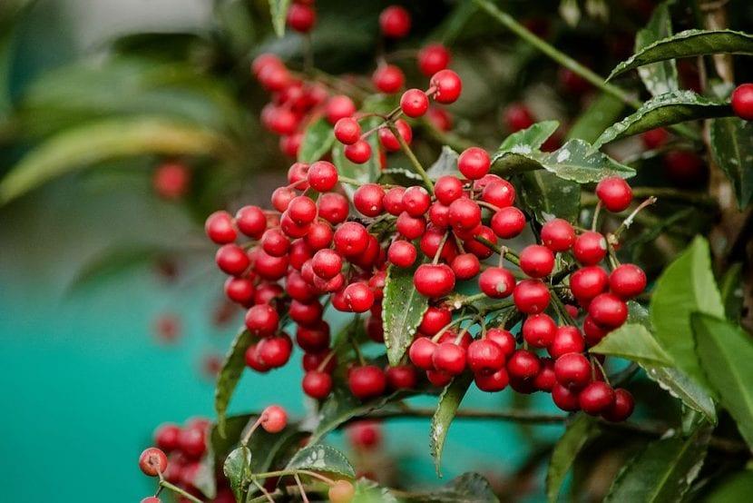 Frutos de la planta Ardisia crenata