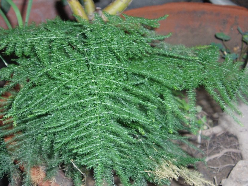 Planta de Asparagus plumosus