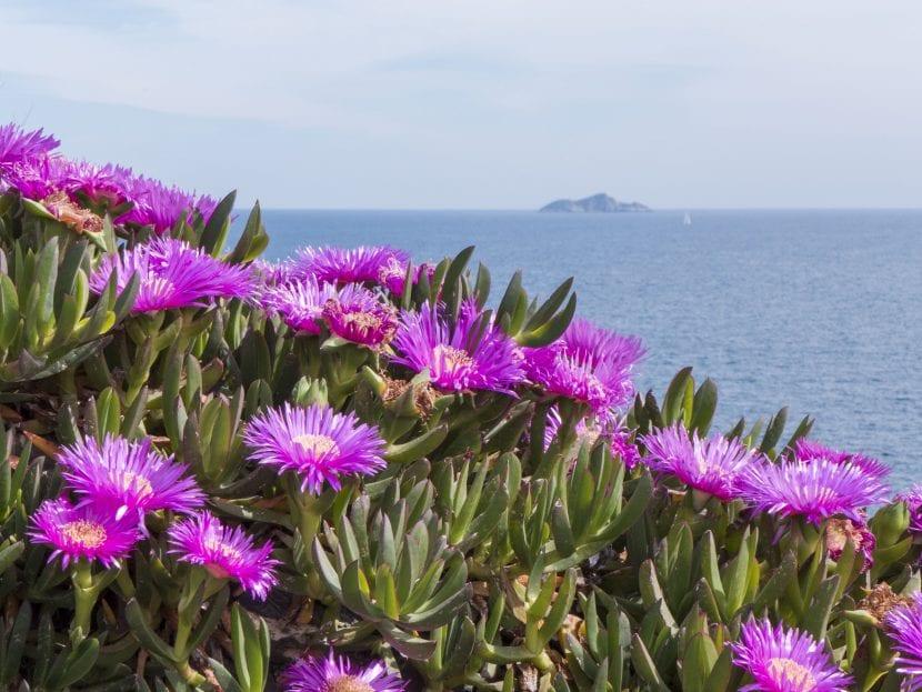 Carpobrotus cerca del mar