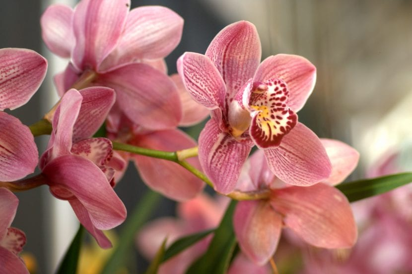 Flores de Cymbidium 'Kirby Lesh'