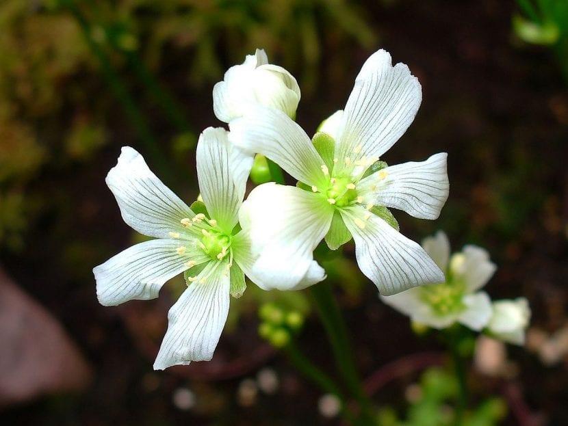 Flores de la Dionaea muscipula