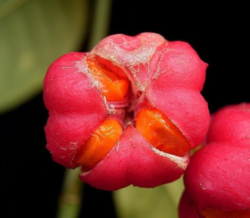 Flor del bonetero o Euonymus europaeus