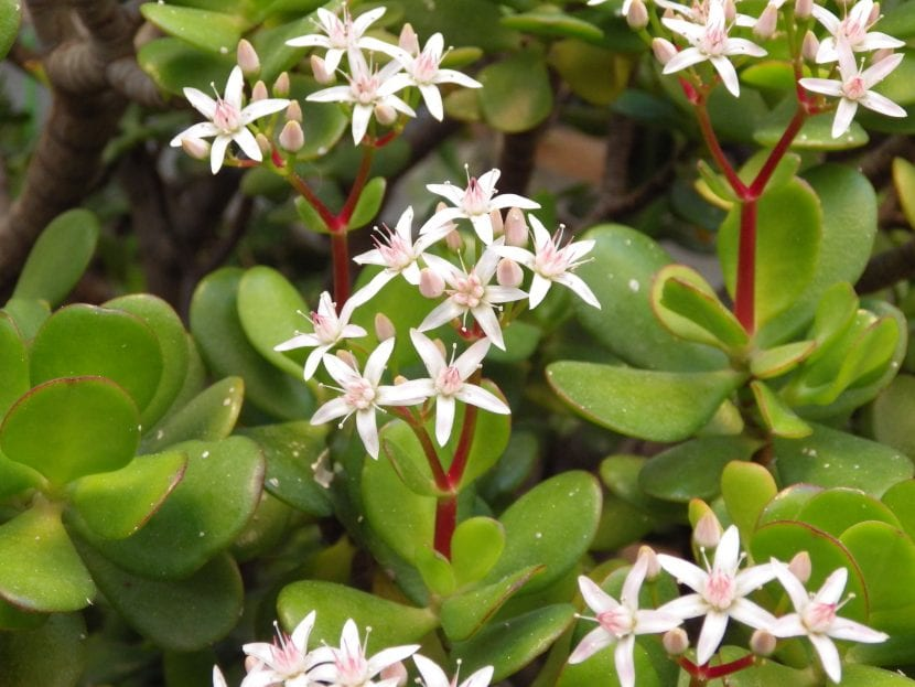 Flores de la planta Crassula ovata