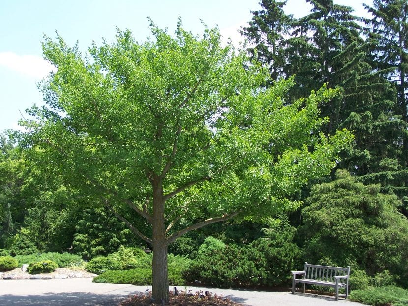 Ginkgo biloba en un jardín
