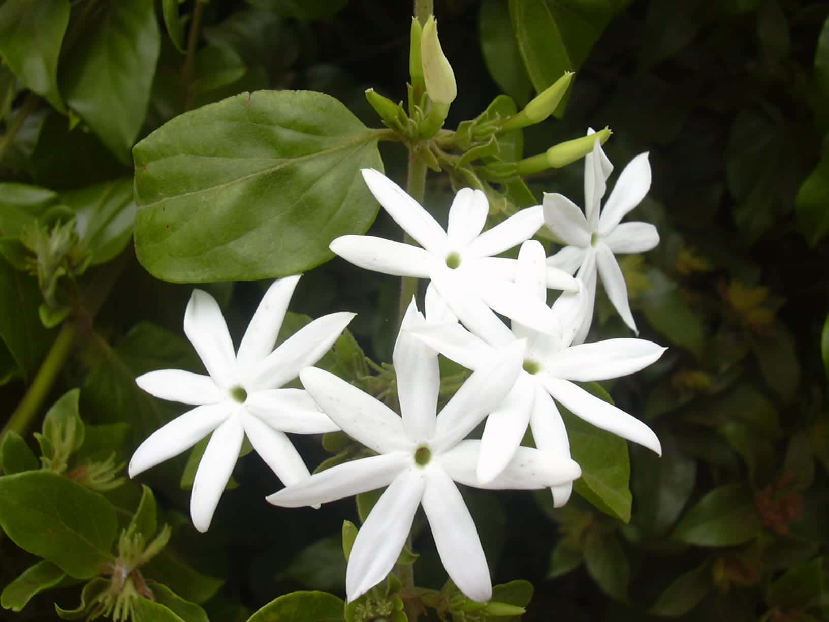 Jasminum multiflorum en flor